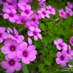 紫酢漿草/ムラサキカタバミ/植物観察日記 ムラサキカタバミ【紫酢漿草】  色鮮やか…
