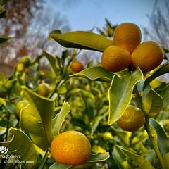 植物観察日記/金柑 キンカン(金柑)  沢山金柑の実が黄色に…