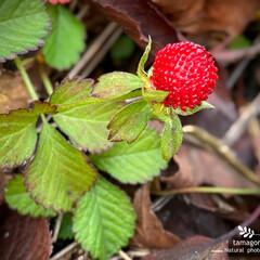 植物観察日記/佐保川散策/蛇苺 ヘビイチゴ(蛇苺)  地べたを這うように…