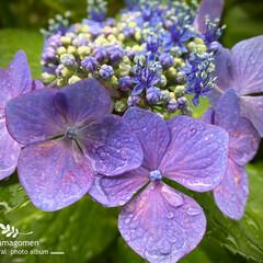 ガクアジサイ/額紫陽花/植物観察日記 ガクアジサイ【額紫陽花】  今日は朝から…
