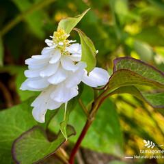 ドクダミ/蕺草・十薬/蕺草の花/植物観察日記/八重咲きドクダミ ドクダミ【蕺草・十薬】  ドレスを纏った…