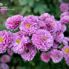植物観察日記/小菊/実家の庭 コギク(小菊)  実家の庭に沢山咲いてい…