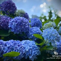 紫陽花/アジサイ/植物観察日記/梅雨 アジサイ【紫陽花】  満開の紫陽花を見る…