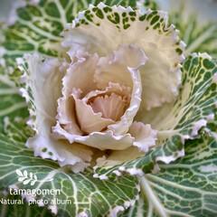 葉牡丹/植物観察日記 ハボタン 【葉牡丹】  種類の多い葉牡丹…