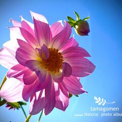 ダリア/植物観察日記 ダリア  秋なのに暑い一日でした お天気…