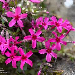芝桜/シバザクラ/植物観察日記 シバザクラ(芝桜)  色濃い芝桜が緑に映…