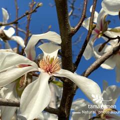 辛夷/植物観察日記 コブシ【辛夷】  満開を迎えた辛夷の花 …(1枚目)