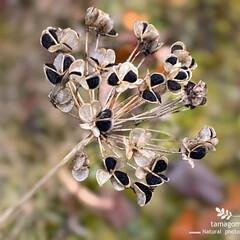 植物観察日記/ニラの種子 ニラの種子  夏の間とても可愛らしい花を…