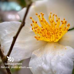 サザンカ/山茶花/植物観察日記 サザンカ【山茶花】  白くて小さな山茶花…