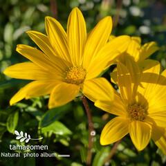 ユリオプスデージー/植物観察日記 ユリオプスデージー  綺麗な黄色の花です…