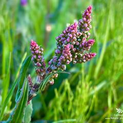 スイバ/植物観察日記 スイバ  この雑草ちょくちょく見掛けます…