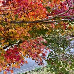 公園/植物観察日記/紅葉/もみじ モミジ(紅葉)  自然は美しいです- .…(2枚目)