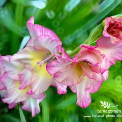 グラジオラス/植物観察日記 グラジオラス  ご近所さん宅のお花です …