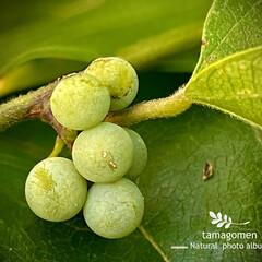 カミエビ/アオツヅラフジ/植物観察日記/青葛藤 アオツヅラフジ【青葛藤】  まだ薄黄緑で…