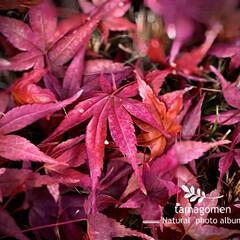 紅葉の葉/植物観察日記 モミジ【紅葉】  地面に散った紅葉の葉 …