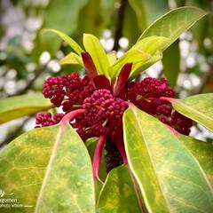 植物観察日記/譲葉/ユズリハ ユズリハ(譲葉)  紅くて小さな花が咲い…