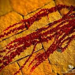 植物観察日記/ツタの葉 ツタ(蔦)  壁を這う様に紅くなった蔦の…
