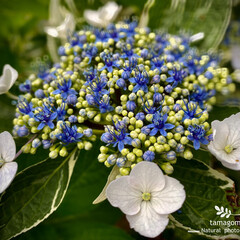 ガクアジサイ/額紫陽花/植物観察日記 ガクアジサイ【額紫陽花】  葉っぱに白い…