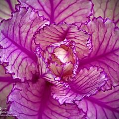 ハボタン/葉牡丹/植物観察日記 ハボタン(葉牡丹)  紫色の縁取りがとて…