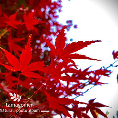 紅葉/モミジ/植物観察日記 モミジ【紅葉】  紅く紅葉するモミジ綺麗…