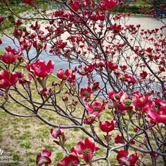 ハナミズキ/紅い花水木/花水木/植物観察日記 ハナミズキ(花水木)  公園の紅い花水木…(3枚目)