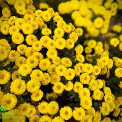 黄色の菊/菊の花 菊  実家の庭に小さい菊の花が とても綺…