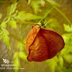 フウセンカズラ/風船葛/植物観察日記 フウセンカズラ【風船葛】  ふわふわとし…