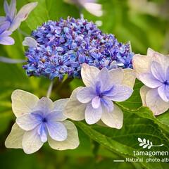 ガクアジサイ/額紫陽花/植物観察日記 ガクアジサイ【額紫陽花】  今年はたくさ…