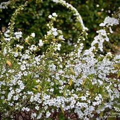 植物観察日記/雪柳/ユキヤナギ ユキヤナギ(雪柳)  まだ、満開ではなく…(3枚目)