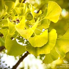 イチョウの葉紅葉/イチョウ/銀杏/ご近所公園/おでかけ イチョウ(銀杏)  イチョウの葉が紅葉し…