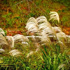 植物観察日記/自然観察日記/奈良市/iPhone11ProMax/ススキ/佐保川の川辺/... ススキ  佐保川の川辺に生えるススキです…