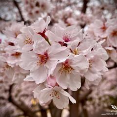 染井吉野/ソメイヨシノ/植物観察日記 ソメイヨシノ(染井吉野)  近所に咲く染…
