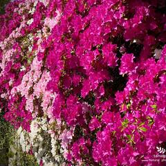 躑躅/満開躑躅/植物観察日記 ツツジ【躑躅】  満開ですねー (^^♪