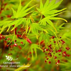 紅葉/植物観察日記 モミジ【紅葉】  紅葉の若葉と紅くて小さ…(1枚目)