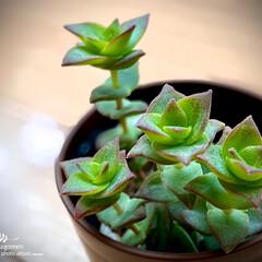 多肉植物/植物観察日記/クラッスラ属/十字星 クラッスラ属  十字星  先日、我が家に…