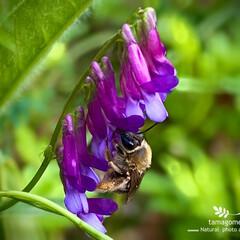 ナヨクサフジ/蜜蜂/弱草藤と蜜蜂/昆虫観察日記/植物観察日記 弱草藤と蜜蜂  弱草藤を撮影中に蜜蜂と遭…