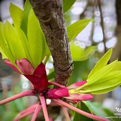 植物観察日記/譲葉/ユズリハ/譲葉の新芽 ユズリハ(譲葉)  譲葉の新芽です 華や…