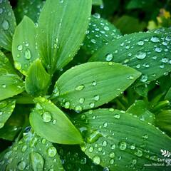 雨に濡れる葉/植物観察日記 雨に濡れる葉  今日は一日中雨降りです …