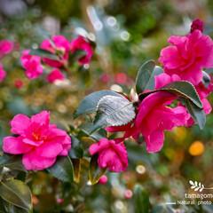 自然観察日記/植物観察日記/山茶花 サザンカ(山茶花)  小ぶりな椿ですが …
