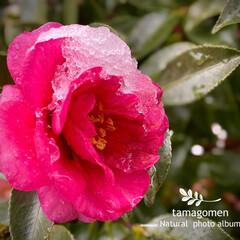 山茶花/植物観察日記 サザンカ【山茶花】  雪を纏った山茶花さ…