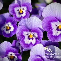 ビオラ/植物観察日記 ビオラ  ご近所さん宅の新入りさん 春だ…(1枚目)