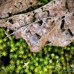 砂苔と枯葉/植物観察日記 砂苔と枯葉  砂苔と枯葉が とても綺麗で…
