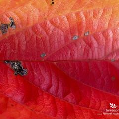 色彩美/自然観察日記/植物観察日記/iPhone6s plus/紅葉 紅葉  紅葉していますね- 虫食い後も美…