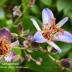 ホトトギス/杜鵑草/植物観察日記/花 ホトトギス【杜鵑草】  杜鵑草咲きました…(1枚目)