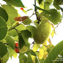 iPhone11ProMax/植物観察日記/自然観察日記/アケビ アケビ(𡚴)  毎回欠かさず熟していくの…