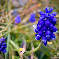 植物観察日記/ムスカリ ムスカリ  春の花ですね- ムスカリが半…