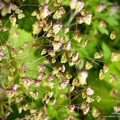 ヒメコバンソウ/姫小判草/植物観察日記 ヒメコバンソウ 【姫小判草 】  霞草の…