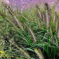 自然観察日記/ご近所の公園/植物観察日記/力芝/チカラシバ/おでかけ/... チカラシバ(力芝)  エノコログサよりも…
