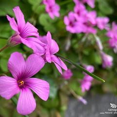 芋方喰/イモカタバミ/植物観察日記 イモカタバミ【芋片喰】  ピンクのカタバ…