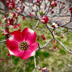 ハナミズキ/紅い花水木/花水木/植物観察日記 ハナミズキ(花水木)  公園の紅い花水木…(2枚目)